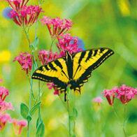 Butterfly (Wild Earth)