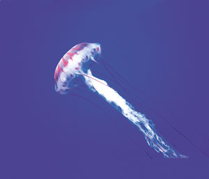 Wild Earth Jellyfish Qualle