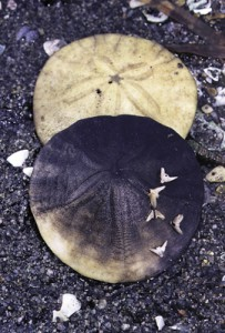 Sand Dollar (Pacific Essences)