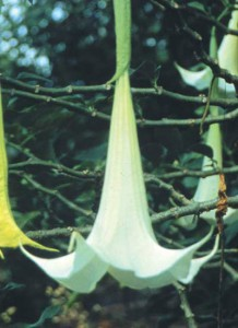 FES Angel's Trumpet