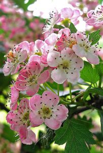 Read more about the article Hawthorn (Pacific Essences)