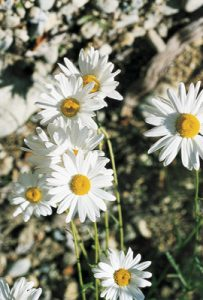 Ox-eye Daisy (Pacific Essences)