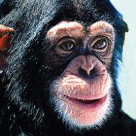 Chimpanzee (Wild Earth Tieressenzen)