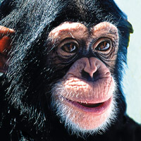 Wild Earth: Chimpanzee