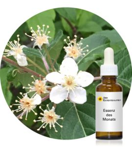 Read more about the article Syringa (Pacific Essences)