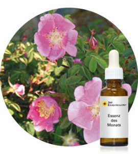 Nootka Rose (Pacific Essences)