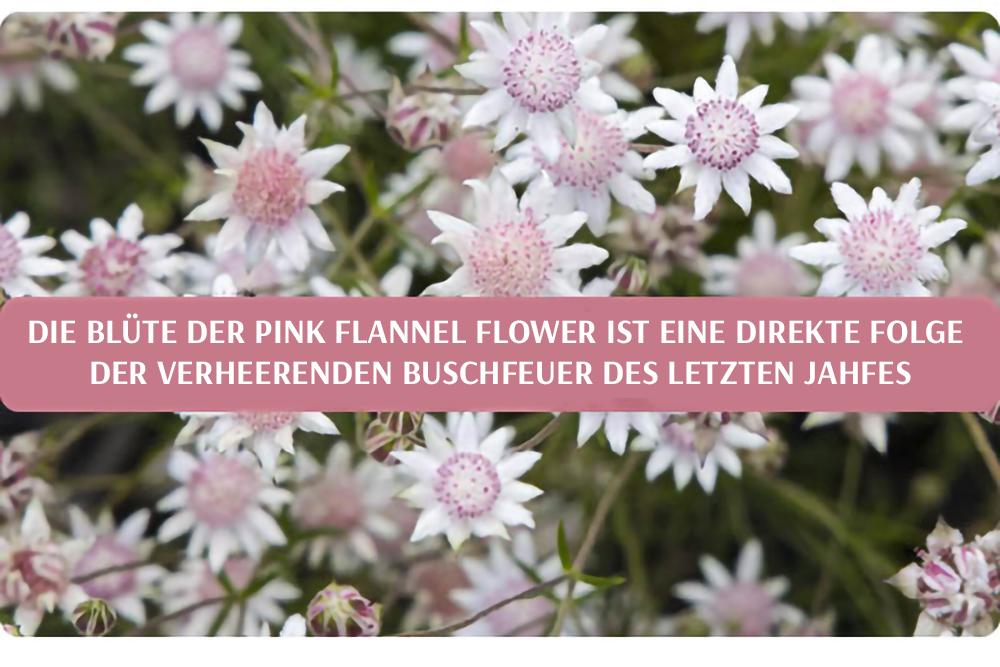 Die Blüte der Pink Flannel Flower ist eine direkte Folge der verheerenden Buschfeuer des letzten Jahres