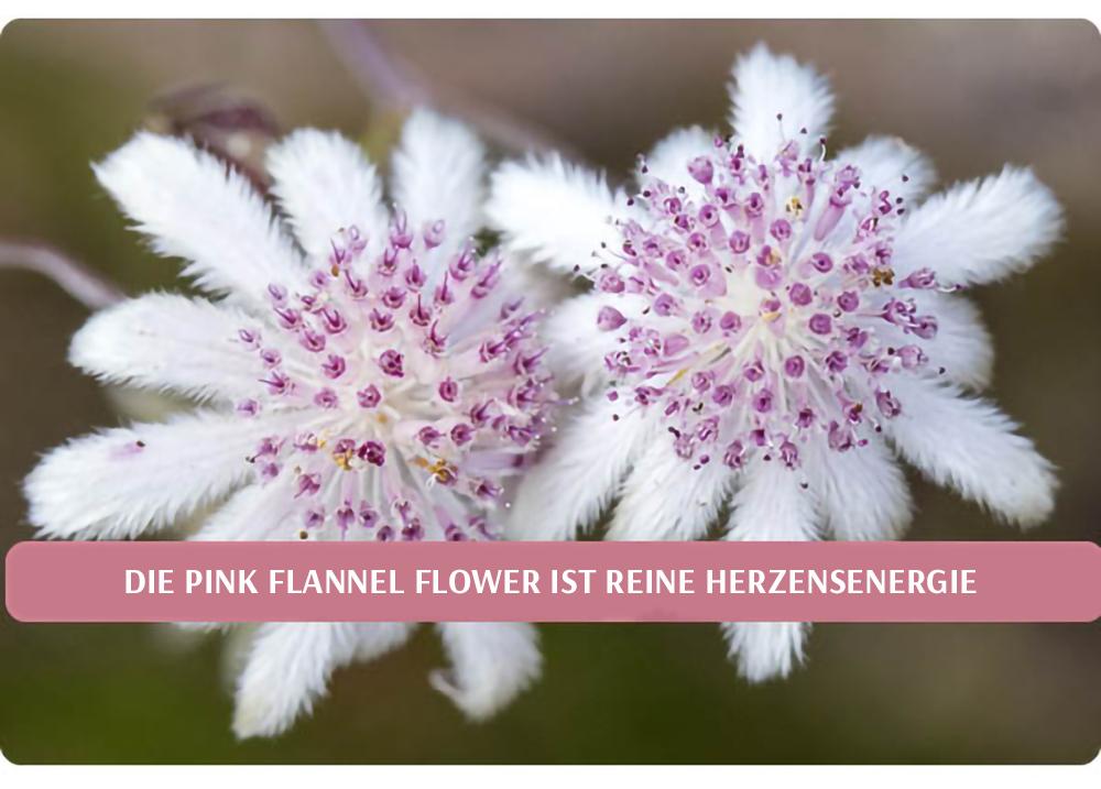 Die Pink Flannel Flower ist reine Herzensenergie