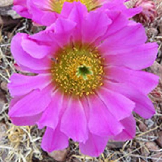 Sonoran Rainbow Cactus (früher Strawberry Cactus)