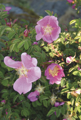 Nootka Rose (Pacific Essences)